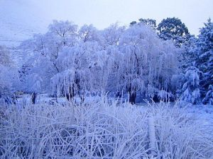 snow willow