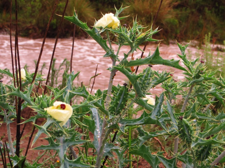 Karoo veldt flower and raging river
