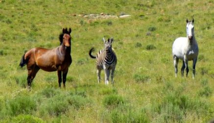 Hebra and Zebra stand together- the white horse is a visitor.