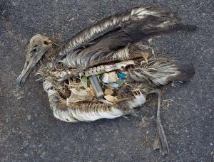 bird belly plastic
