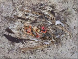 Midway-dead-albatross